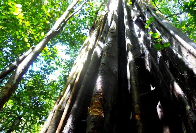 amazonewoud, frans-guyana, oerwoud, tropisch regenwoud