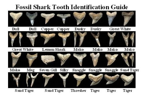 pitbulls paints a guide for finding fossilized shark teeth