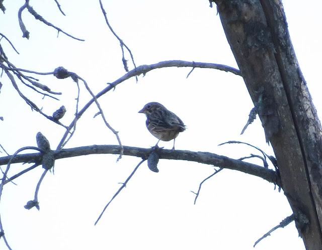 Vesper Sparrow - Grayling, Michigan, USA