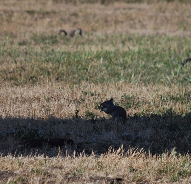 Ground squirrel eating in shadows