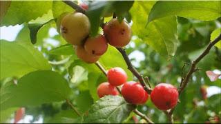 gambar buah lobi-lobi