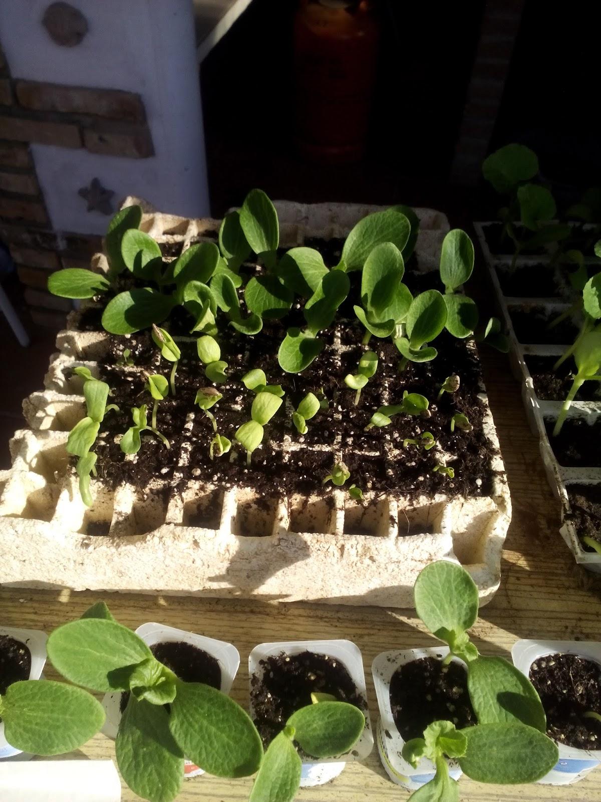 Cultivar el huerto casero cultivo de zapallitos en el - Plantas de huerto ...