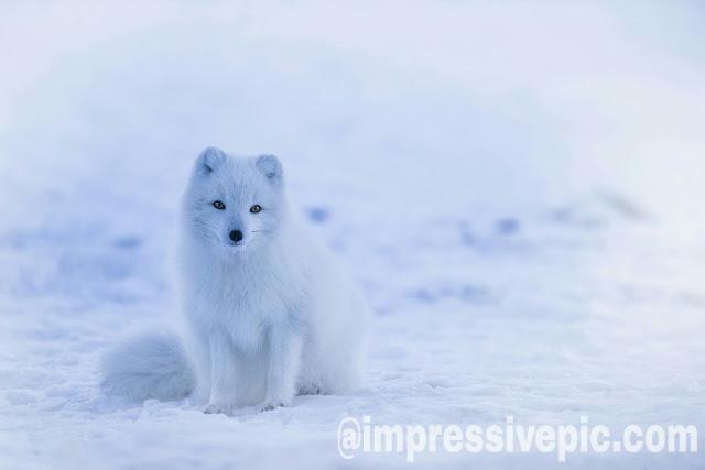 White beautiful puppy pavelian dog