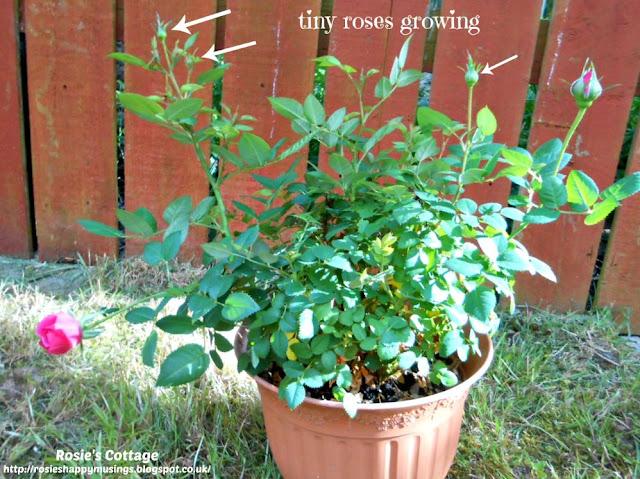 Tiny, Perfect, Miniature Roses Growing