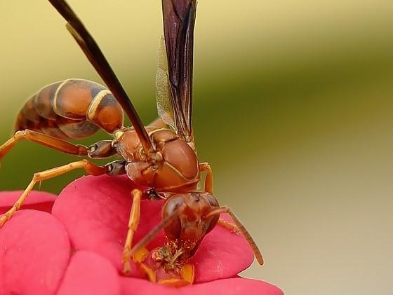 lebah hinggap di bunga, peristiwa penyerbukan oleh serangga