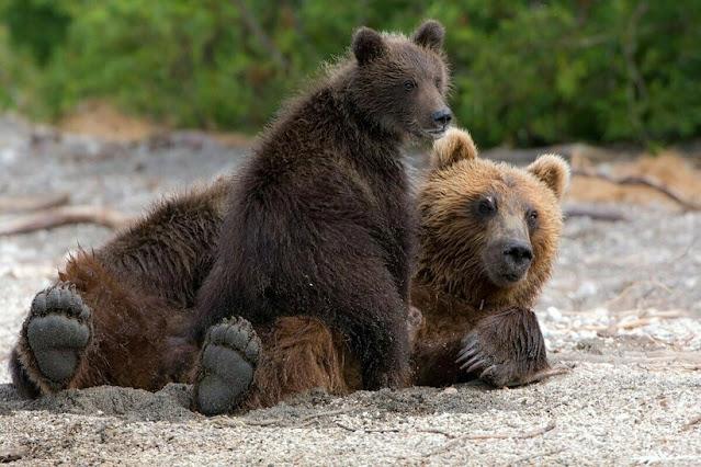 Ради спасения медвежат, медведица-мать пришла к людям