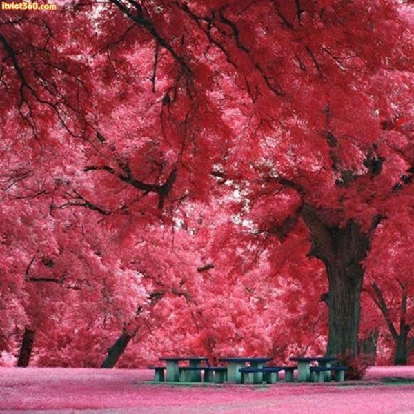 Japanese Maple Tree, Austin, TX