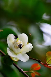 Costa Rica fruit tree flower