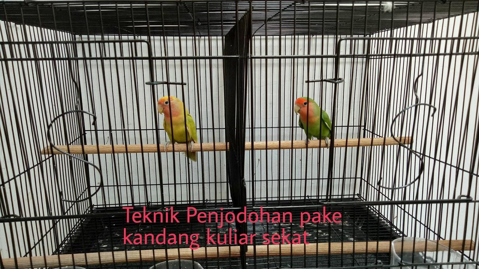 Unduh 47+  Gambar Burung Lovebird Tarung HD Paling Unik Free