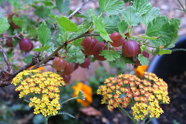 Ripe Hinnonmake red gooseberries growing next to yellow Achillea