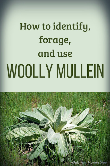 How to identify and forage woolly mullein.