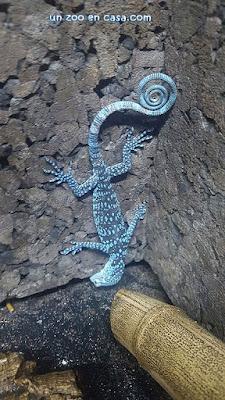 Varano arborícola azul