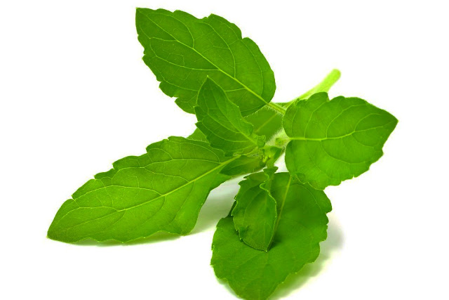 tulsi oil benefits, tulsi arka benefits, holy basil reviews, importance of tulsi, benefits of drinking tulsi water in morning, benefits of tulsi for skin, tulsi leaf benefits in bengali, tulsi leaf cancer,