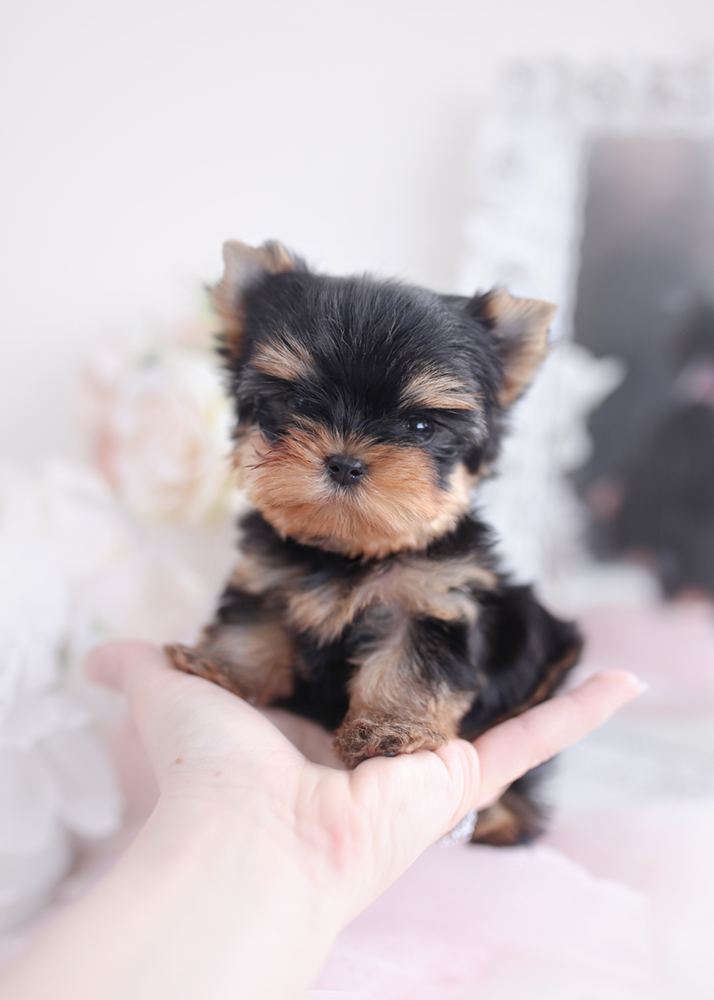 ABOUT TEACUP PUPPY HOME ~ TeaCup Puppy Home - Toy TeaCup Yorkies For Sale