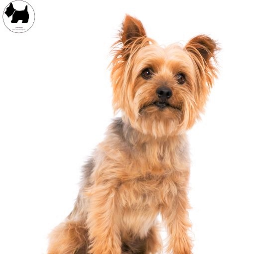 Cutest Dog Breeds, Best Dog, Australian Silky Terrier Dog
