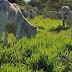 A Carne Possível: Um fazendeiro brasileiro mostra que a pecuária pode regenerar o Cerrado.