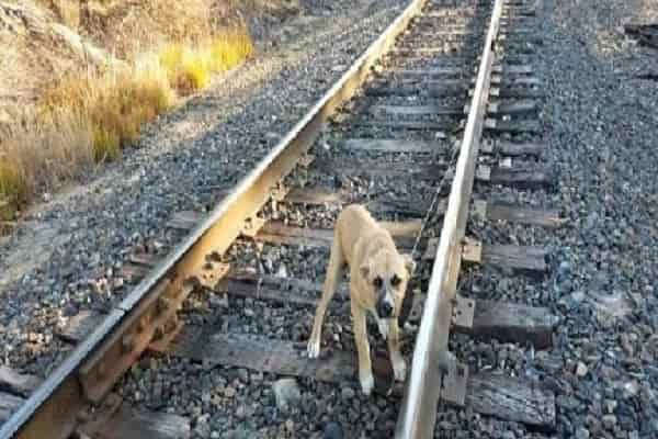 Young Puppy Connected To Train Track And Also Delegated Pass Away, Cried At Passers-By For Assistance