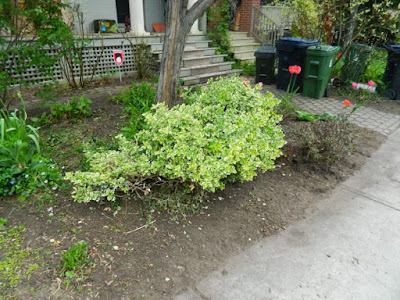 Toronto Wychwood Front Yard Spring Cleanup After by Paul Jung--a Toronto Organic Gardener