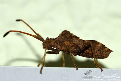 Centrocoris Spiniger (fotografia-de-naturaleza.blogspot.com)