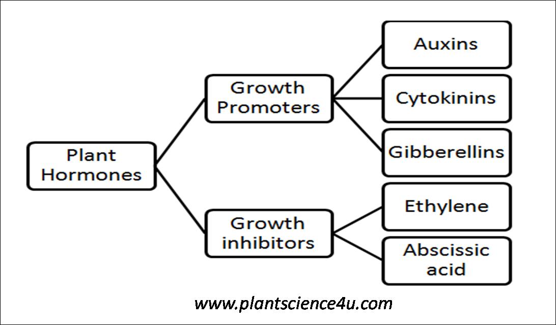 Short Notes on Phytohormones (Plant Hormones)   Plant Science 4 U