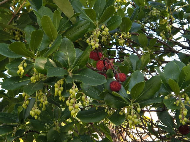 Frutti e Fiori Arbutus unedo