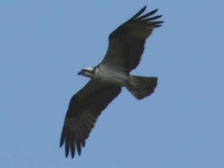 An Osprey Flys Over Ranney Gorge Ontario