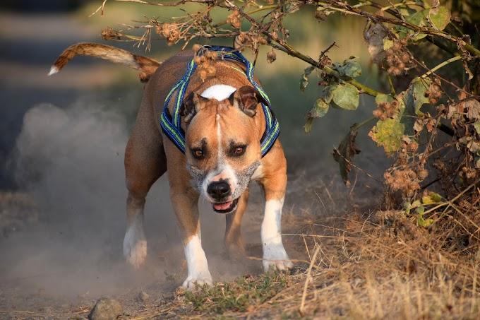 ये हैं दुनिया के 10 सबसे खतरनाक कुत्ते