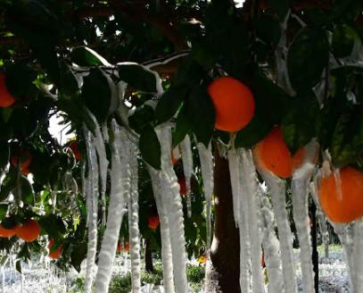 Άργος - Αγρίνιο - Άρτα - Μεσολόγγι καταστροφές στα περιβόλια από τον πάγο, αμφίβολη η φετινή παραγωγή μελιού