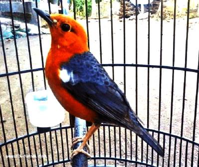 April 2020 Rahasia Saya Melatih Burung Hingga Berkicau Dengan Cepat