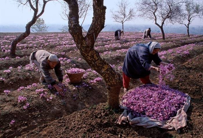 The incredible beauty of saffron, India