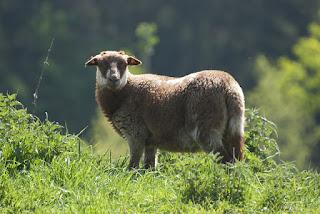 Hati domba merupakan sumber vitamin b5 yang melimpah