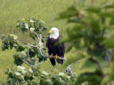 The Bald Eagle Is a Bird of Prey Found in North America.