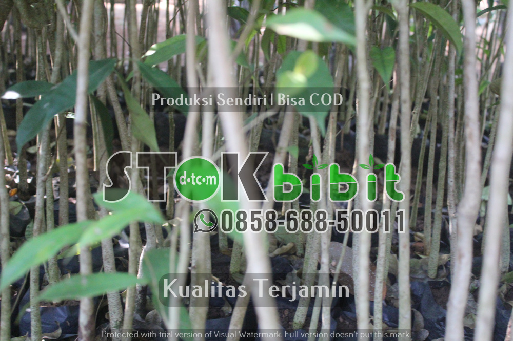 Bibit Glodokan Tiang | Bibit Glodokan Pecut    Grosir     Grosir