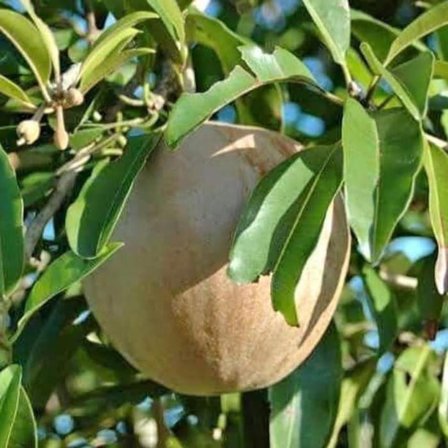 Bibit Pohon Buah Sawo Jumbo Thailand besar manis Jambi