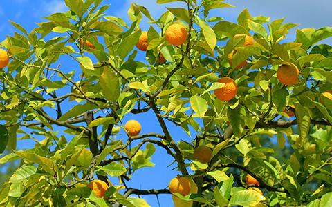 Plant your indoors fruit trees outdoors when they outgrow your home