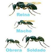 hormigas-negras-de-jardín