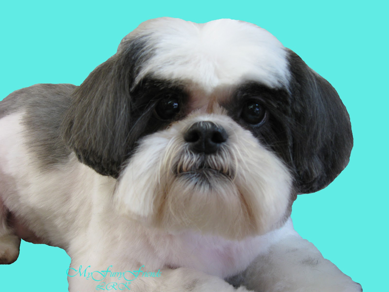 all about shih tzu pet grooming the good the bad the furry scissoring a 3278