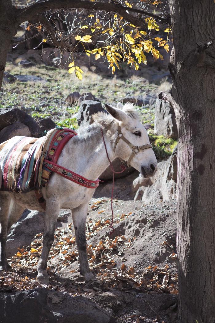 Mulet dans le parc national du Toubkal au Maroc