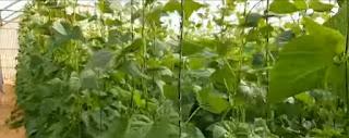 دراسة جدوى مشروع زراعة فدان فاصوليا متسلقة بالصوب بغرض التصدير لاوروبا لعام 2021 مع حساب الارباح | طريقة زراعة الفاصوليا الخضراء بالصوب بالتفصيل