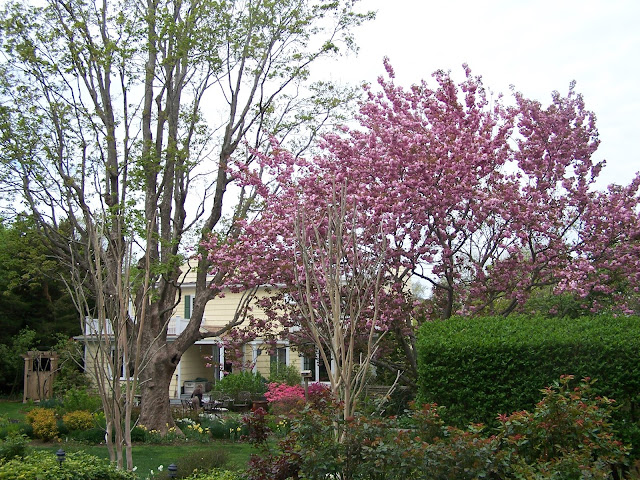 garden picture with cherry tree in bloom and large maple tree overlooking patio at back of yellow Colonial style house
