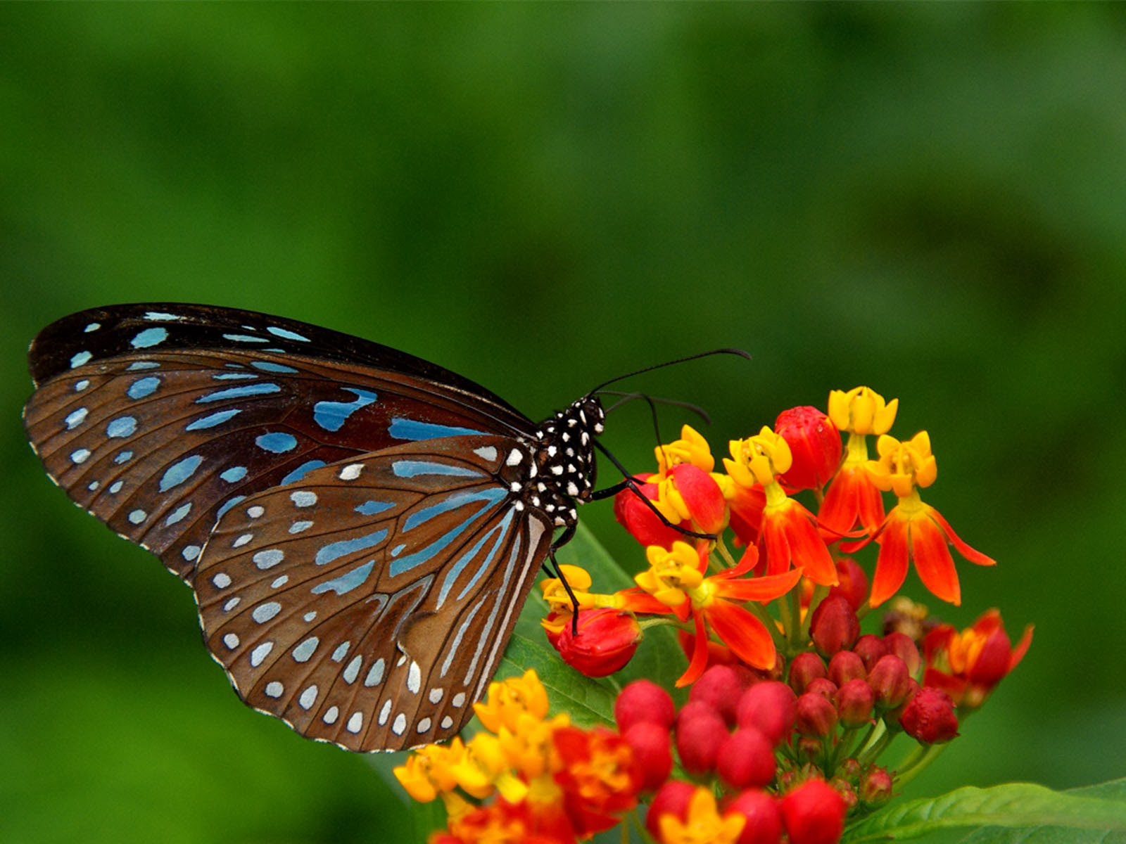 butterfly wallpapers flying - photo #12