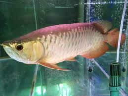 Arwana Red Tail Golden