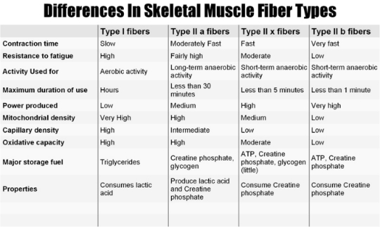 fast and slow twitch fibres coloring pages | .: Three types of Muscle Fibers