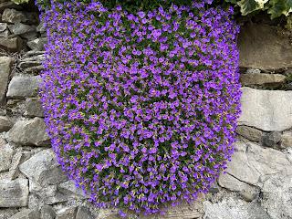 Aubrieta deltoidea - Purple Rock Cress – via Castagneta Bergamo.