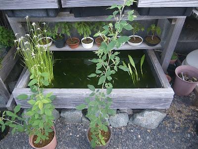 ハギ 鉢植え