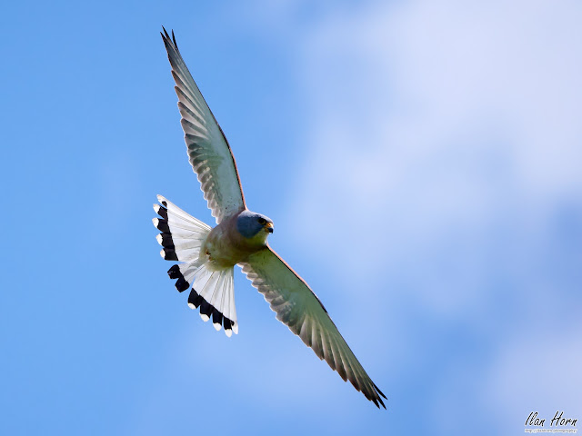 Lesser Kestrel Attack Angle