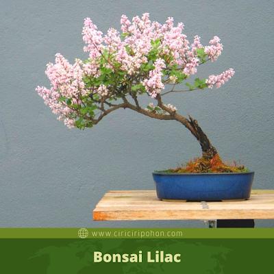 Bonsai Lilac