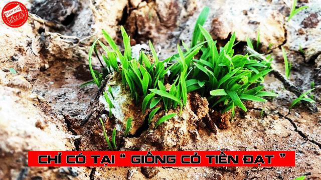 So sánh cỏ ghine mombasa và cỏ paspalum