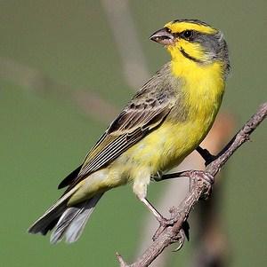 3 Perbedaan Akurat Burung Mozambik Jantan Dan Betina Di Lihat Dari Segi Fisik Paling Akurat
