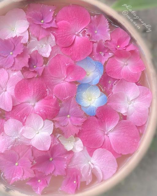 Maceta con hortensias rosas flotando en agua